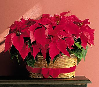 double poinsettias