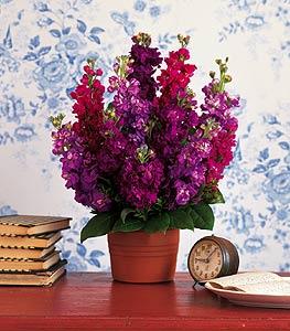 pot of beautiful stock flower