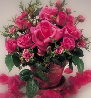 Roses & Their Petals